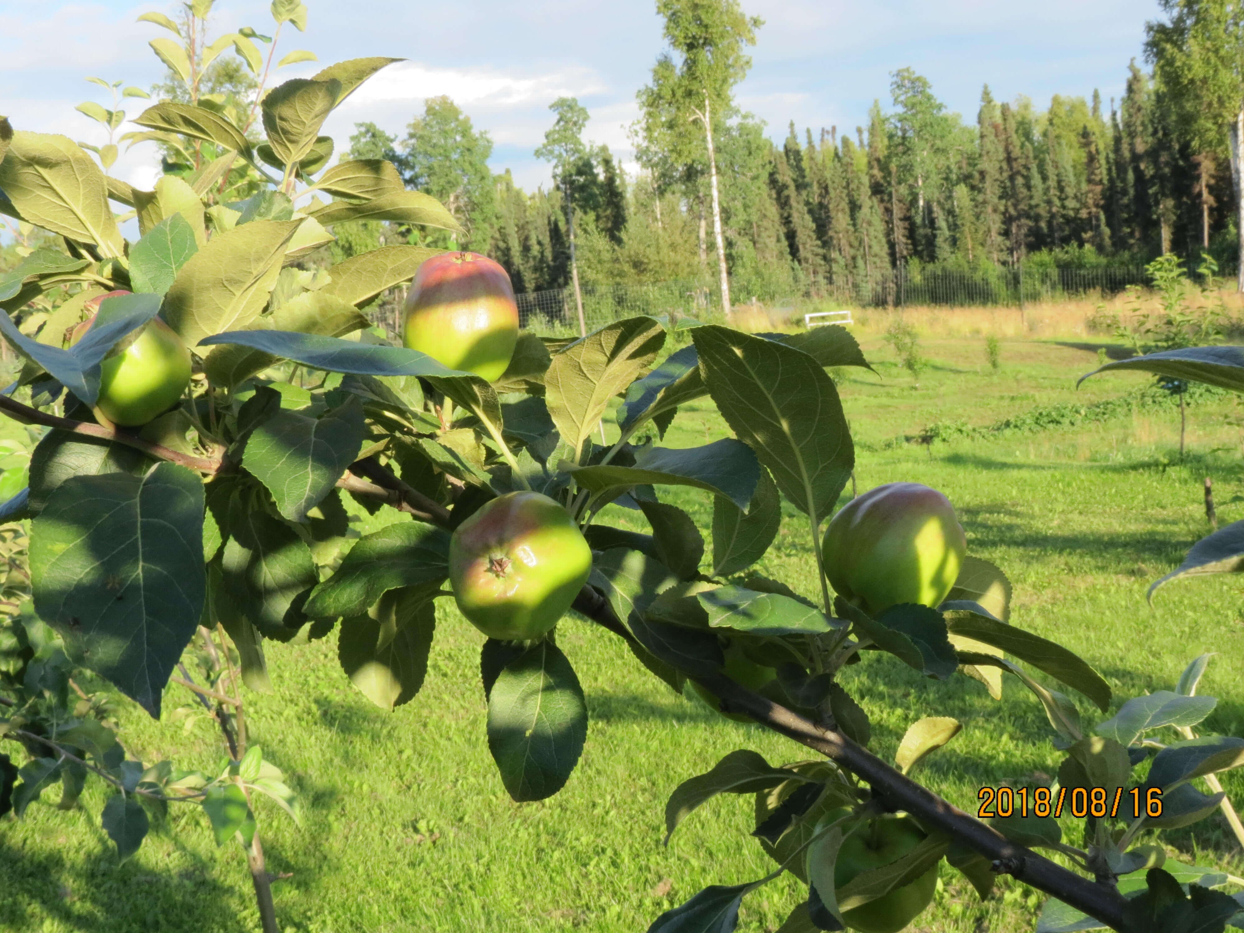 apples ripe common ground alaska farm